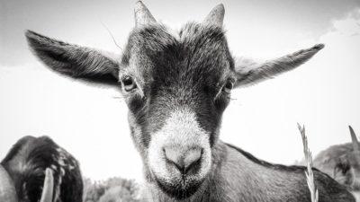 Chèvre des Ouchettes