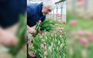 Cueillette des tulipes