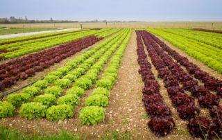 Culture de salades