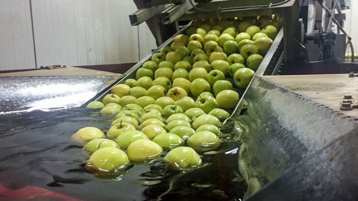 Nettoyage et calibrage des pommes