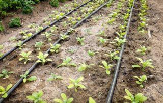 Plantation à la main