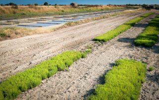 Terre Saline producteur de salicorne
