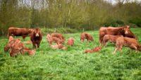 Vaches et veaux en prairie