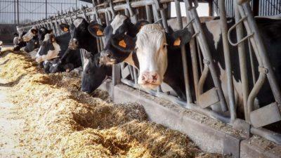 Vaches nourries avec les céréales de l'exploitation